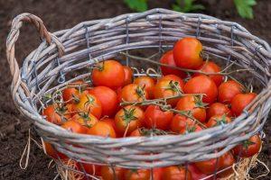Tomat allergi