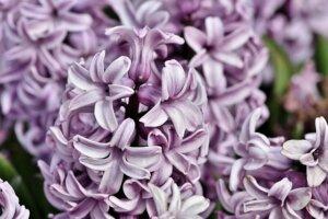 PILKA hyacinter